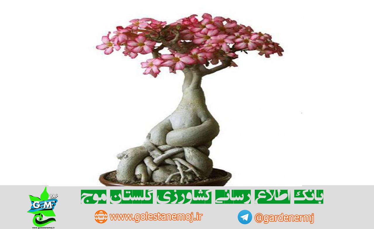 images of desert rose