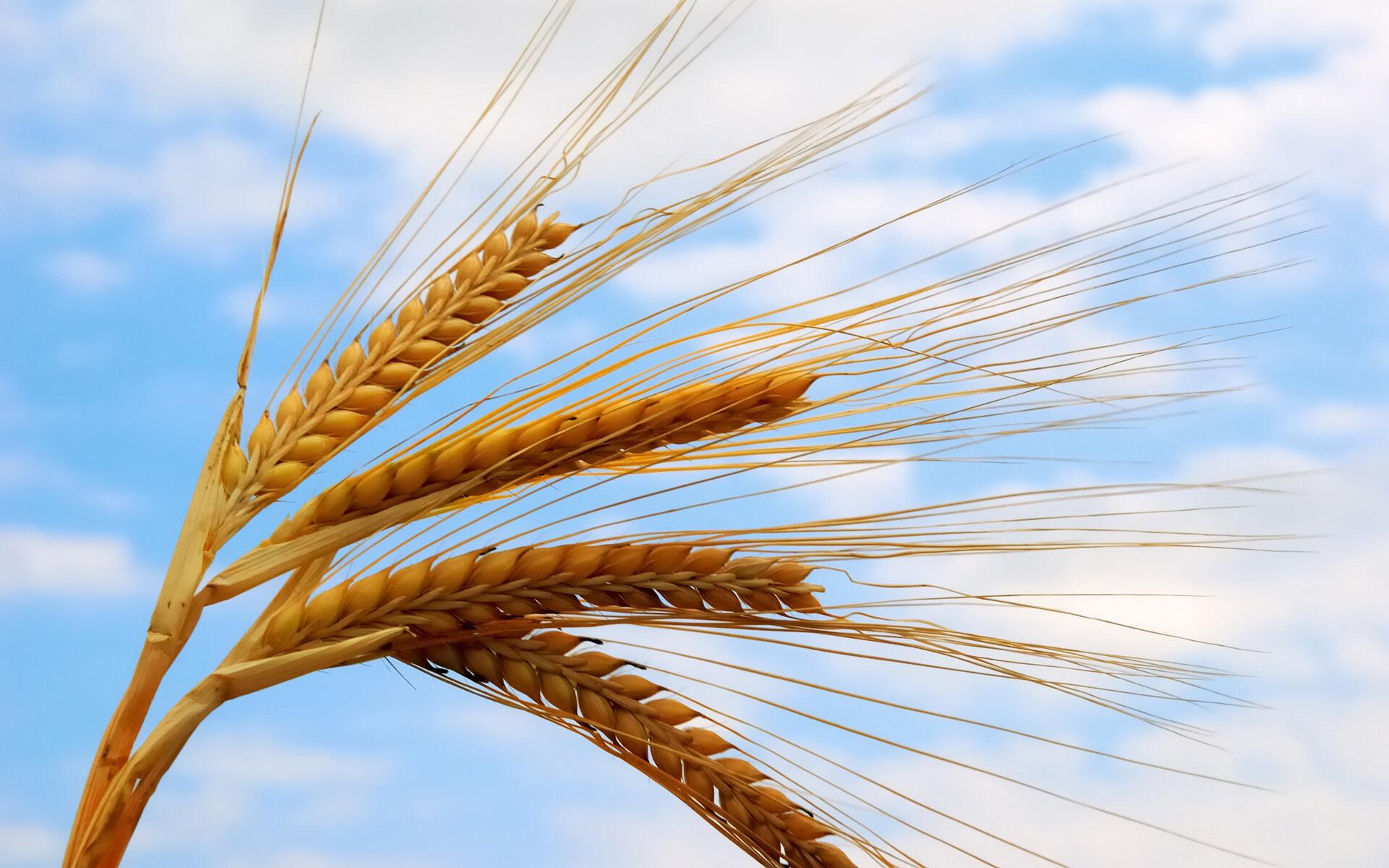 سبز  گندم در خاک » تاريخ كاشت گندم كهگيلويهبانک اطلاعاتی کشاورزی گلستان موج